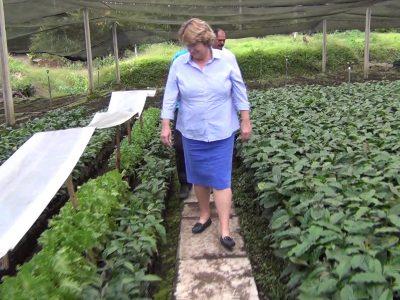 Kaffeepflanzen in Plantage
